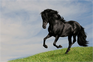 Dekoaufkleber Schwarzes Pferd im Galop