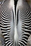 Decoration Sticker Zebrash tail