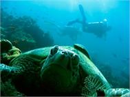 Wandsticker Schildkröte de mer et Plongeur