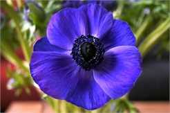 Blue Anemone deco decal