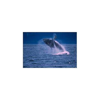 Sticker muraux groß  Baleine
